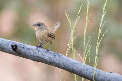 Dusky Grasswren - Male (Amytornis purnelli) - Tennant Creek Flats3