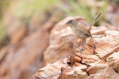 Dusky Grasswren - Male (Amytornis purnelli) Tennant Creek Hills