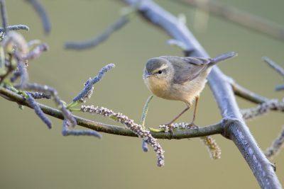 Dusky Warbler (Phylloscopus fuscatus)