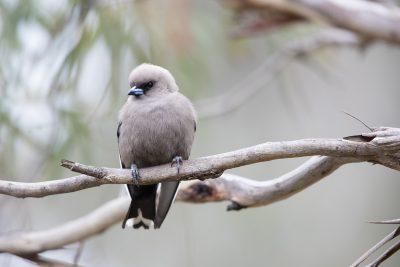 Dusky Woodswallow (Artamus cyanopterus cyanopterus)