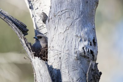 Dusky Woodswallow - On nest (Artamus Cyanopterus Cyanopterus) - Capertee Valley, NSW