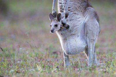 Eastern Grey Kangaroo - With Joey