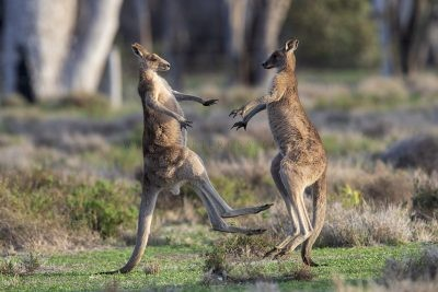 Eastern Grey Kangaroos Boxing (4)