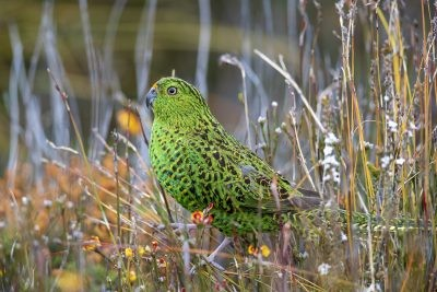 Eastern Ground Parrot (Pezoporus wallicus leachi)