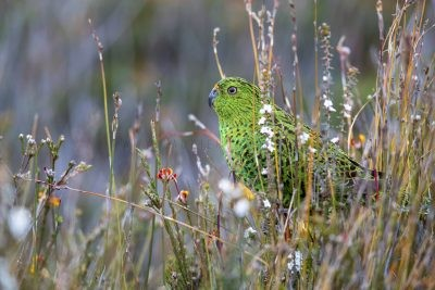 Eastern Ground Parrot (Pezoporus wallicus leachi).1
