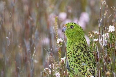 Eastern Ground Parrot (Pezoporus wallicus leachi).3