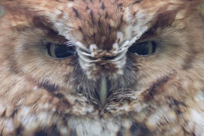 Eastern Screech-Owl - Close Up (Megascops asio)