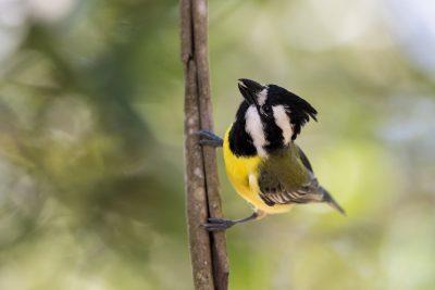 Eastern Shrike-tit (Falcunculus frontatus)3