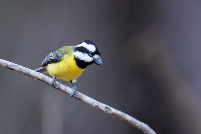 Eastern Shrike-tit - Male.1