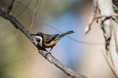 Eastern Spinebill - Tasmanian (Acanthorhynchus tenuirostris)1