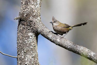 Eastern Whipbird (Psophodes olivaceus olivaceus) - Capertee Valley, NSW