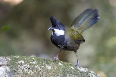 Eastern Whipbird (Psophodes olivaceus)3
