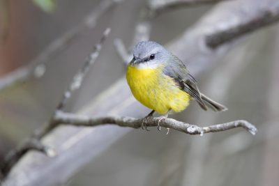 Eastern Yellow Robin (Eopsaltria Australis Australis) - Capertee Valley, NSW