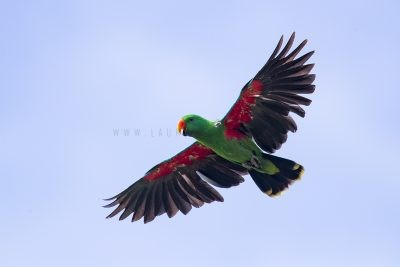 Eclectus Parrot - Male in flight