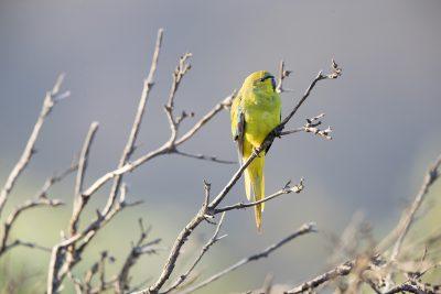 Elegant Parrot (Neophema elegans carteri)