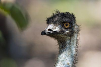 Emu - Adult Portriat (Dromaius novaehollandiae)