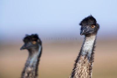 Emu - Portrait