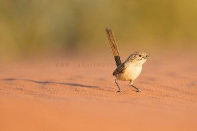 Eyrean Grasswren - Male (Amytornis goyderi)3