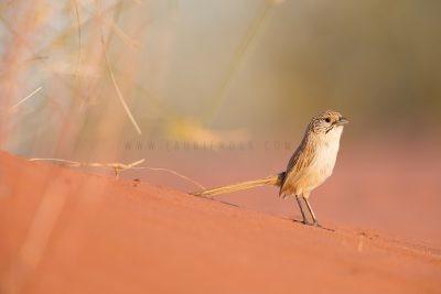 Eyrean Grasswren - Male (Amytornis goyderi)4