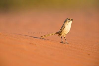 Eyrean Grasswren - Male (Amytornis goyderi)5