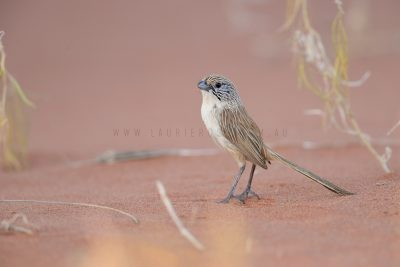 Eyrean Grasswren - Male (Amytornis goyderi)6
