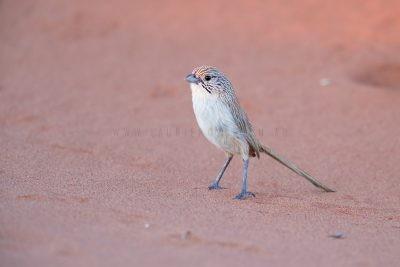 Eyrean Grasswren - Male (Amytornis goyderi)7