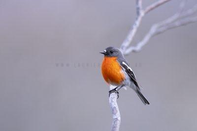 Flame Robin - Male