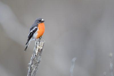 Flame Robin - Male (Petroica phoenicea)