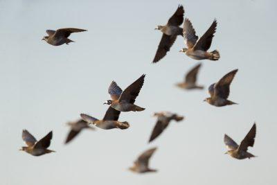 Flock Bronzewing - Flock (Phaps histrionica)