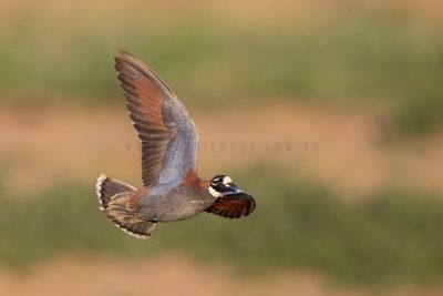 Flock Bronzewing - Male in flight.1
