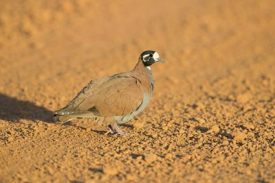 Flock Bronzewing - Male (Phaps histrionica)1