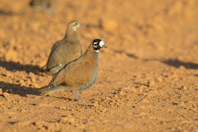 Flock Bronzewing - Male (Phaps histrionica)2