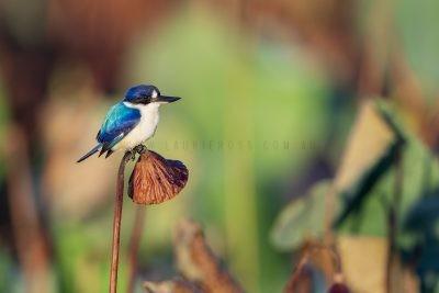 Forest Kingfisher (Todiramphus macleayii macleayii).1