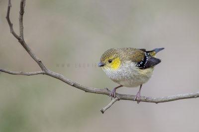 Forty-spotted Pardalote (Pardalotus quadragintus)