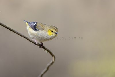 Forty-spotted Pardalote (Pardalotus quadragintus).1