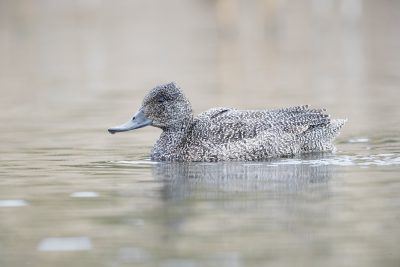 Freckled Duck - Female (Stictonetta naevosa)