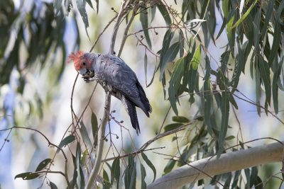 Gang-gang Cockatoo - Male (Callocephalon fimbriatum) - Capertee, NSW
