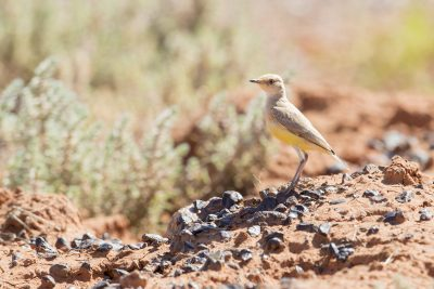 Gibberbird - Juv (Ashbyia lovensis) - Alice Springs, NT