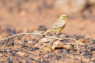 Gibberbird (Ashbyia lovensis) - Alice Springs, NT