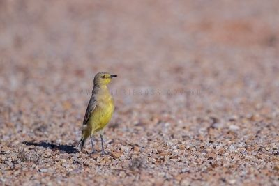 Gibberbird (Ashbyia lovensis).2