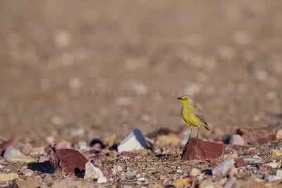 Gibberbird - Habitat (Ashbyia lovensis)