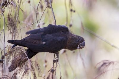 Glossy Black-cockatoo - Male