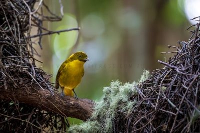 Golden Bowerbird - Male.