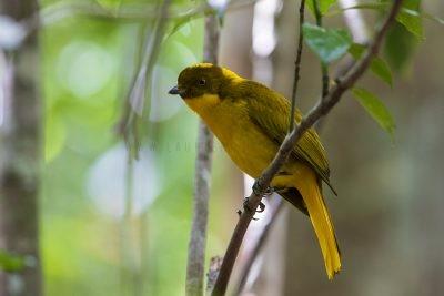 Golden Bowerbird - Male.1