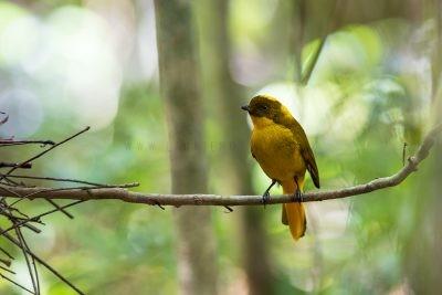 Golden Bowerbird - Male.5