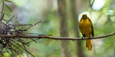 Golden Bowerbird - Panoramic