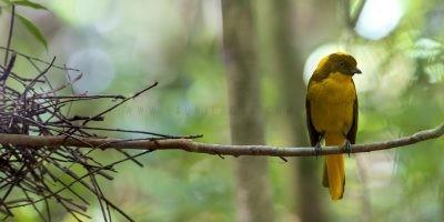 Golden Bowerbird - Panoramic.