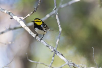 Golden-cheeked Warbler (Setophaga chrysoparia)