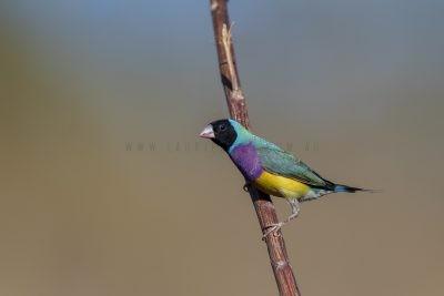 Gouldian Finch - Male black-faced (Erythrura gouldiae)