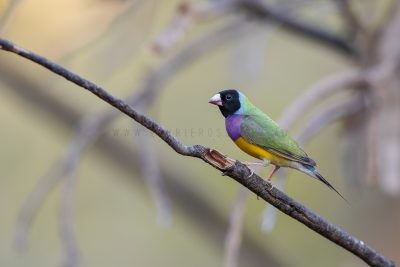 Gouldian Finch - Male black-faced (Erythrura gouldiae).1